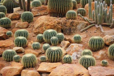 Photo pour Vert cactus dans le sol du désert sec - image libre de droit
