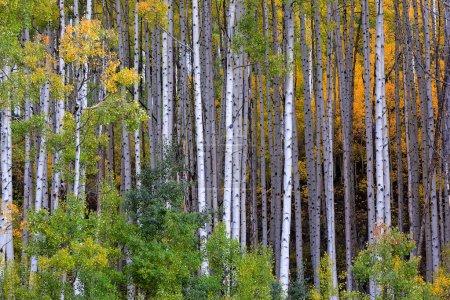 Photo pour Peupliers en automne dans les montagnes du Colorado, Aspen - image libre de droit