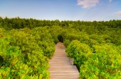 Wooden bridge and mangrove field. Boardwalk in Tung Prong Thong