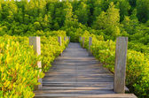 Wooden bridge and mangrove field, Rayong, Thailand.