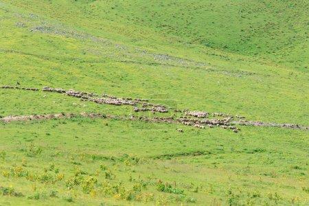 Photo pour Un troupeau de moutons broutant au loin sur une prairie verte - image libre de droit
