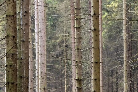 The trunks of birch trees