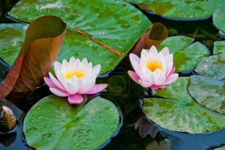 Photo pour Fleurs de lotus dans l'eau - image libre de droit