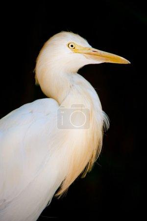 Heron portrait close up