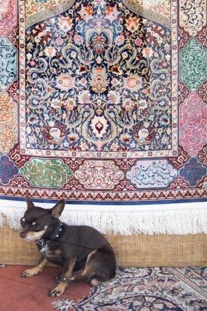 Dog under oriental rug