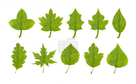 Photo for Collection of green leaves of fruit and berry shrubs and trees - Royalty Free Image