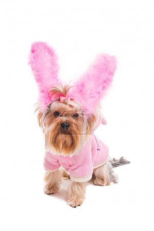 Photo for Cute Yorkshire terrier in pink clothes and rabbit costume looking at camera while being isolated on white background - Royalty Free Image