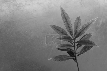 Black and white leaves  background