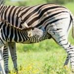 Zebra calf animals closeup alert between feeds in ...
