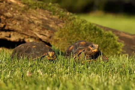 A pair of Red-footed tortoises (Chelonoidis carbon...
