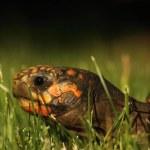 A  Red-footed tortoises (Chelonoidis carbonaria) i...