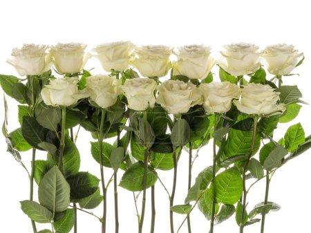 Photo pour Treize belles roses blanches aux feuilles vertes sur fond blanc horizontal - image libre de droit