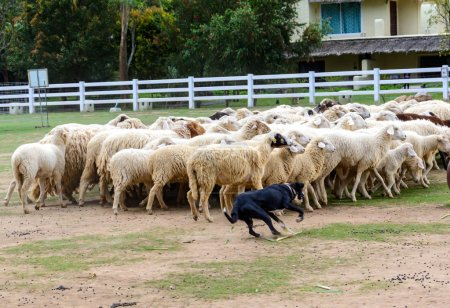 Sheep dog herding