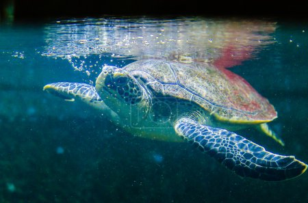 Turtle living in the Red Sea