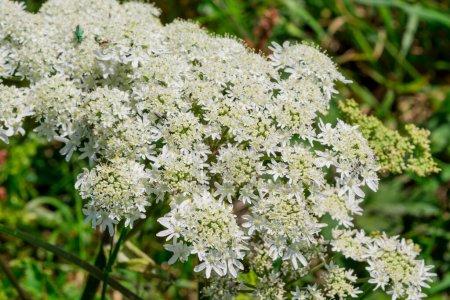 Photo pour Dentelle de la Reine Anne (Daucus carota) Fleurs sauvages - image libre de droit