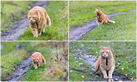Collage - walking the cat on the harness
