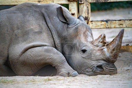 Photo pour Gros plan sur Rhinocéros blanc ou Ceratotherium simum en captivité - image libre de droit