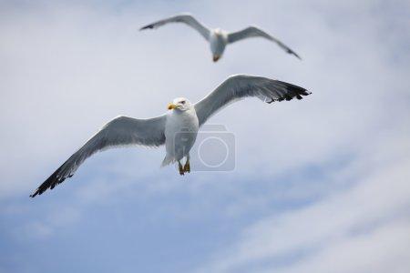 Beautiful seagulls soaring in the blue sky
