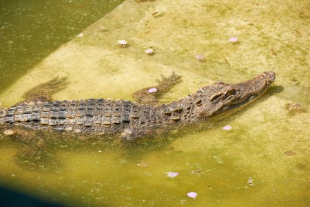 Big crocodile in Thailand zoo