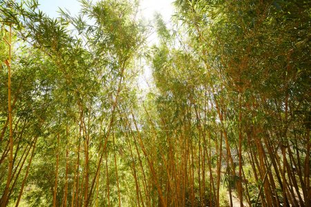bamboo thickets in Vietnam