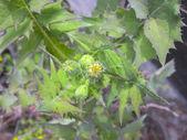 Löwenzahn-Blüten und Blätter