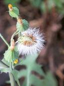 Löwenzahn Blumen Samen mit einigen blosoms