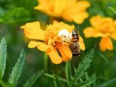 Pavouk Misumena vatia chytit včela na květ Tagetes