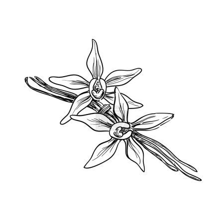 Illustration pour Vanille belle fleur et haricots, vecteur . - image libre de droit