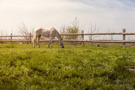Domestic horse grazing on pasture at sunset