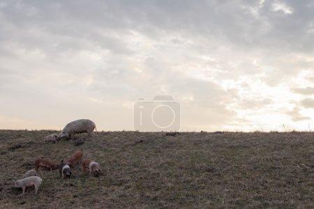 Mangulitsa pig family pasturing on the field