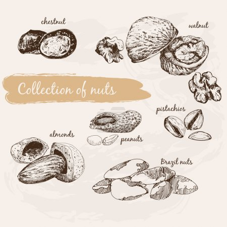 Illustration for Collection of nuts. Hand drawn graphic illustrations - Royalty Free Image