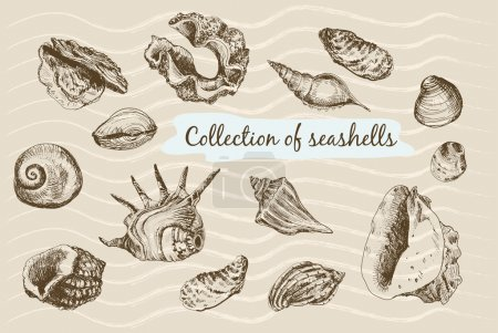 Illustration for Collection of seashells. Hand drawn graphic illustrations. - Royalty Free Image