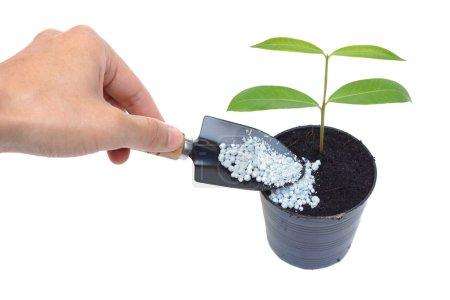 Hand fertilize growing tree in flowerpot