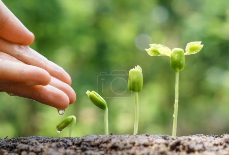 Photo for Hands nurturing and watering young plants growing in germination sequence , Love and protect nature concept - Royalty Free Image
