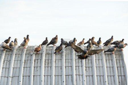 Photo pour Pigeons sur le toit, causant des problèmes au sujet de la mauvaise odeur, les maladies et les excréments - image libre de droit