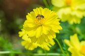 Closeup přírody bee a žlutý květ