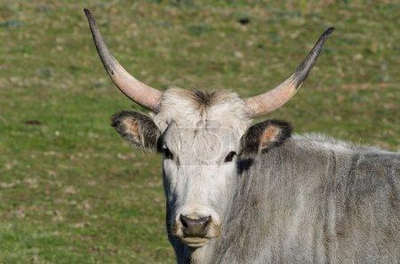 Maremmana-Kühe grasen auf einer grünen Prärie