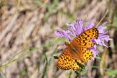 Arctic Fritillary motýl