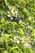 Virágzás kúszó Hortenzia