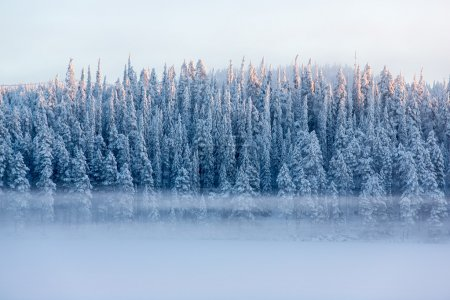 Snowy pine trees with fog on a winter landscape