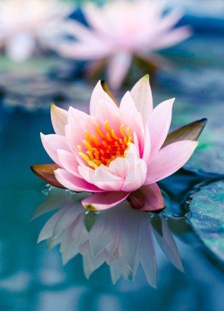 Photo pour Belle fleur de nénuphar ou lotus rose dans l'étang - image libre de droit