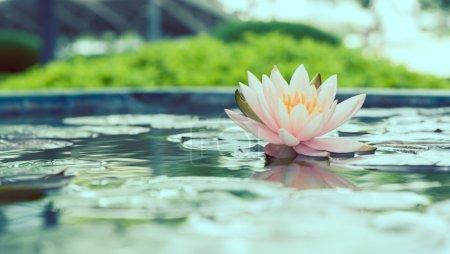 Photo pour Fleur de lotus rose belle en photo vintage étang filtré style - image libre de droit