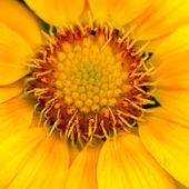 Pohled na close-up květina žlutá gazánie