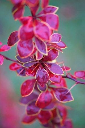Photo pour Feuillage d'automne lumineux et coloré d'épine-vinette - image libre de droit