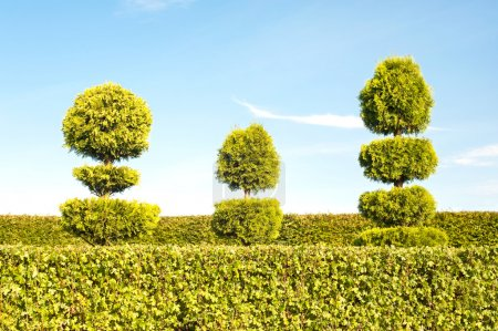 Topiary green trees with hedge on background in ornamental garde