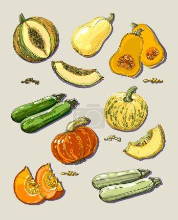 Hand drawn illustration of pumpkin and zucchini.