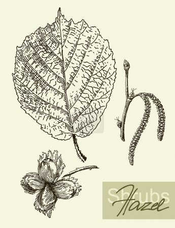 Vector leaves, flowers and fruits of the hazel.