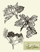 Vector leaves flowers and fruits of the viburnum