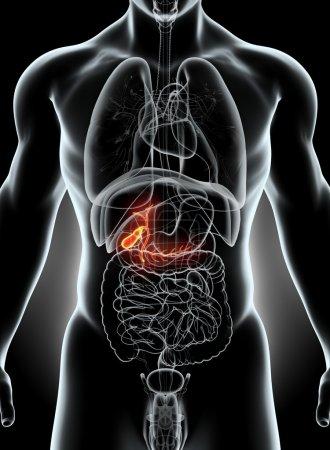 Photo pour Illustration 3D de la vésicule biliaire masculine, concept médical à rayons X . - image libre de droit