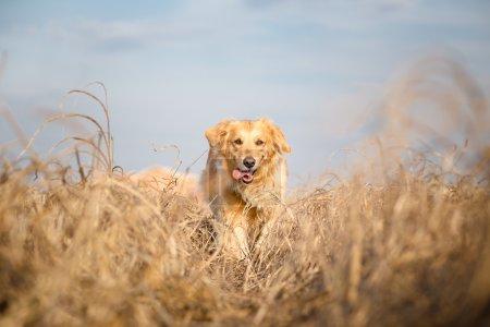 Golden retriever dog running outdoor